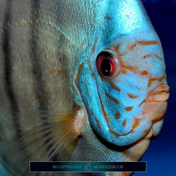 I pesci pi belli for Immagini di pesci disegnati