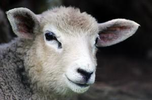 adotta-una-pecora